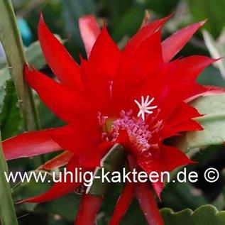 Epiphyllum-Hybr. Betti Paetz (Ute Paetz x Tilli Paetz)