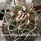 Copiapoa alticostata KK 16 v. minima Freirina, Chile, 400 - 600 m     (Samen)