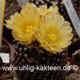 Copiapoa tenuissima  FR 540 (Samen)