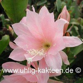 Epiphyllum Hybr. X Katrin Paetz  (Samen)