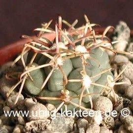 Glandulicactus crassihamatus   (Semillas)