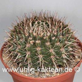 Notocactus submammulosus   (Semillas)