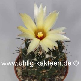 Coryphantha calipensis SB 1390