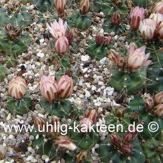 Echinocereus knippelianus v. kruegeri
