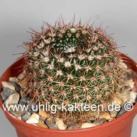 Notocactus multicostatus  GF 196