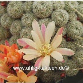 Rebutia albiflora-Hybride