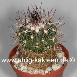 Stenocactus spec.   Ojuelos de Jalisco
