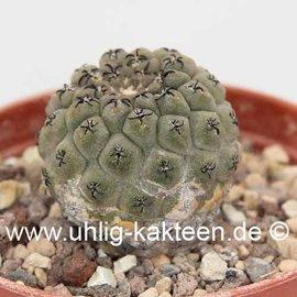 Thelocephala napina  v. spinosior  (syn. Neochilenia)