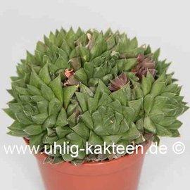 Haworthia cymbiformis  v. multifolia Yo 2152