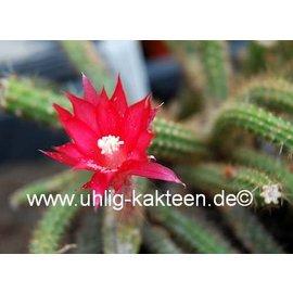 Aporocactus conzattii