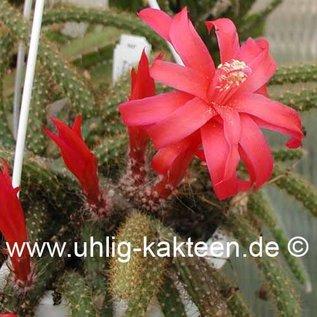 Aporophyllum-Hybr. `Leptohis`