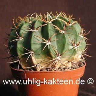 Echinopsis calorubra   (Samen)