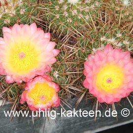 Notocactus roseoluteus   (Semillas)