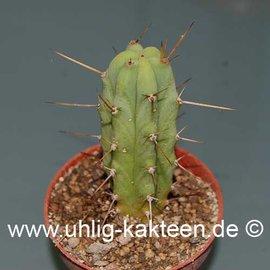 Trichocereus bridgesii        (Samen)