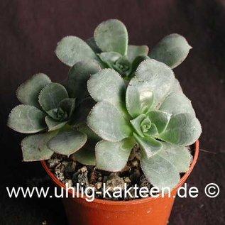 Aeonium haworthii   (Semillas)