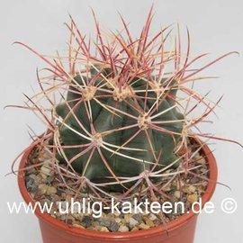 Ferocactus X lecontei Born 453 (rot / red)  (Semillas)