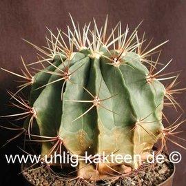 Ferocactus histrix cv. aureispina  (Semillas)