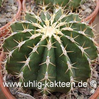 Ferocactus schwarzii   (Samen)
