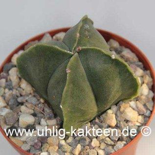 Astrophytum myriostigma v. nudum cv. quadricostata  (Semillas)