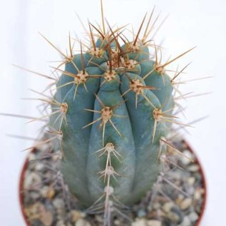 Browningia hertlingiana   Hochland von Peru