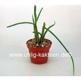Rhipsalis grandiflora