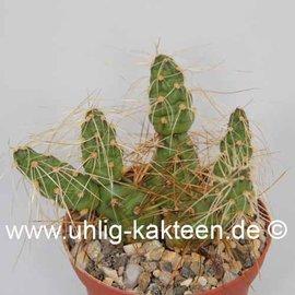 Tephrocactus glomeratus PW 6473 fa. andicola