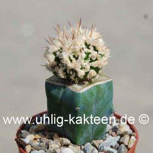 Astrophytum ornatum  cv. `Fukuryu Hanya Haku-Jo Dinosaur`  gepfr.