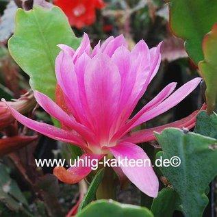 Epiphyllum-Hybr. Lime house