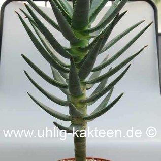 Aloe dichotoma Köcherbaum