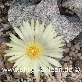 Astrophytum myriostigma v. potosina  (Semillas)