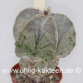 Astrophytum myriostigma v. potosina  (Samen)