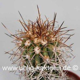 Copiapoa pseudocoquimbana v. vulgata  (Samen)