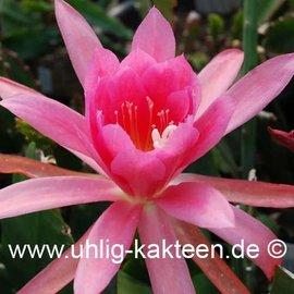 Epiphyllum Hybr. X Hodapp  (Semillas)