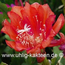 Epiphyllum Hybr. X Tel Star  (Samen)