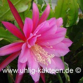 Epiphyllum Hybr. X Triumph von Utrecht  (Samen)
