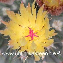 Notocactus buiningii   (Semillas)