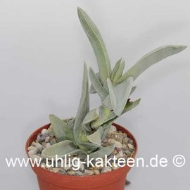 Crassula falcata   (Samen)