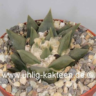 Ariocarpus trigonus  Hybr.    CITES