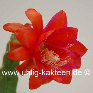 Epiphyllum-Hybr. `Bonnie Brae`