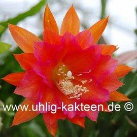 Epiphyllum-Hybr. Ein tolles Ding  Serie Vogelsang