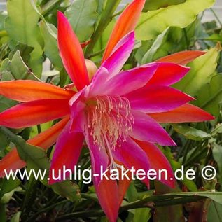 Epiphyllum-Hybr. Gladyce Orange