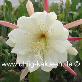 Epiphyllum-Hybr. Sitka