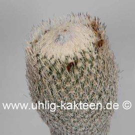 Epithelantha micromeris SB 325 v. pachyrhiza Ramon Arispe, Coahuila, Mexico