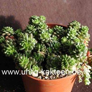 Cremosedum cv. Little Gem Cremophila nutans x Sedum humifusum