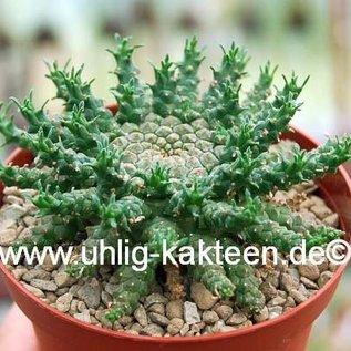 Euphorbia gorgonis