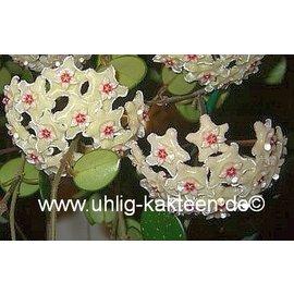 Hoya c.v. Mathilde  (carnosa x serpens)