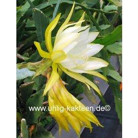 Epiphyllum-Hybr. `Vista Sun`