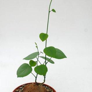 Stephania venosa