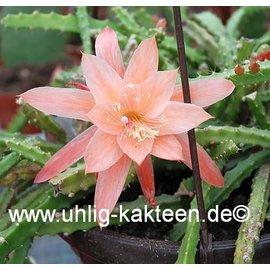 Aporophyllum-Hybr. Apricot  (Lilly X Aporocactus)