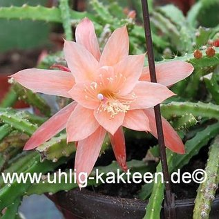 Aporophyllum-Hybr. `Apricot`